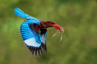 White-throated Kingfisher and frog