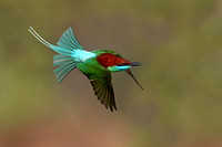 Blue-throated Bee-eater in flight
