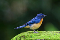 Mangrove Blue Flycatcher (male)