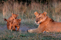 Lioness and cubs