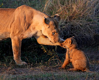 Lioness and naughty cub