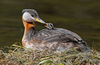 Red -necked Grebe and chick