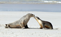 Sea-lion with pup