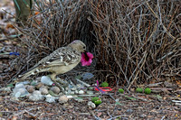 Great Bowerbird (m) with display article
