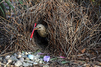 Great Bowerbird (m) with display toys