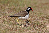 Red-wattled Lapwing with chicks