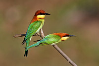 Chestnut-headed Bee-eaters...an invitation for sex