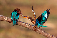 White-throated Kingfisher feeding the chick