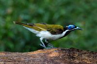 Blue-faced Honeyeater (male)