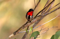 Mistletoe Bird