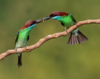 Blue-throated-Bee-eaters