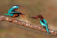 White-throated Kingfishers; feeding the chick